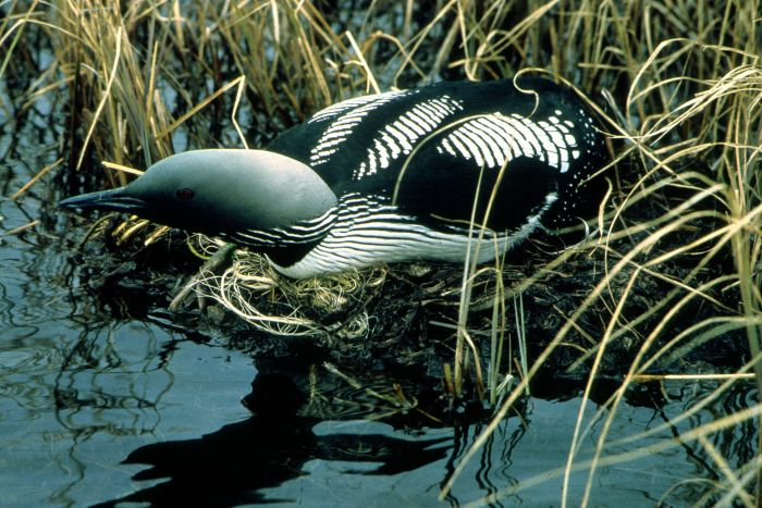 The black-throated loon