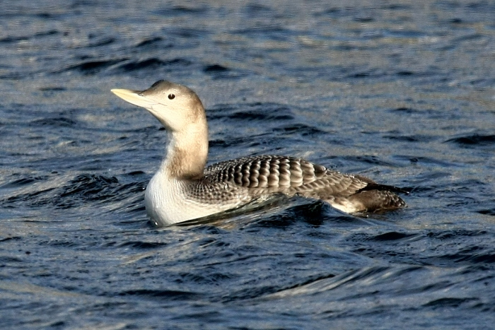 The yellow-billed loon
